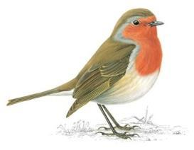 Role of woodland birds - Ground feeding passerines are very important in Bb transmission - Most important species (83% infested) are (Czech studies): - Robin (Erithacus rubecula) - Blackbird (Turdus