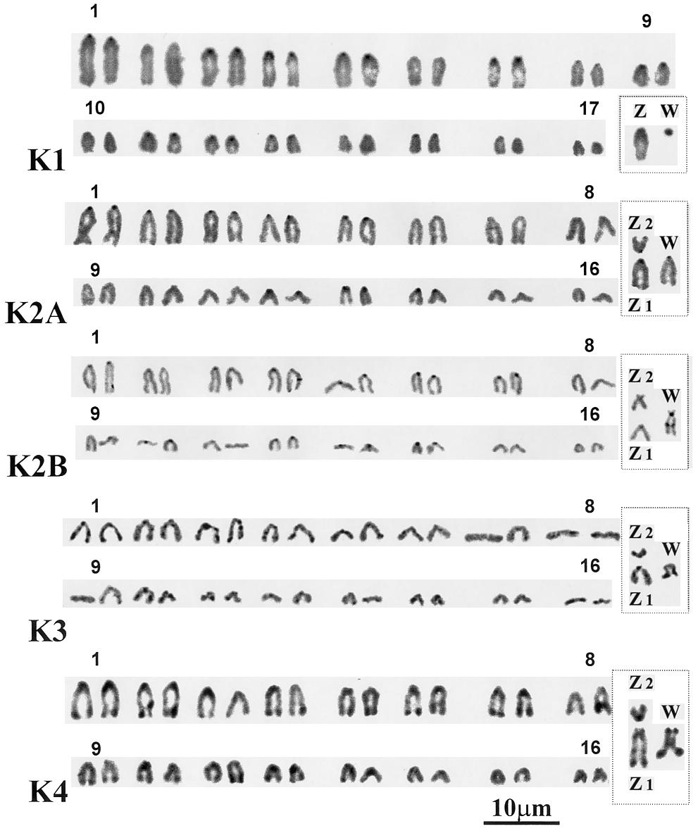 rochromatin in the Pourtalet population, whereas this feature does not exist in the Louvie population (see Karyotype K2B/karyotype K2A: photos in Fig. 3, diagrams in Fig. 4).