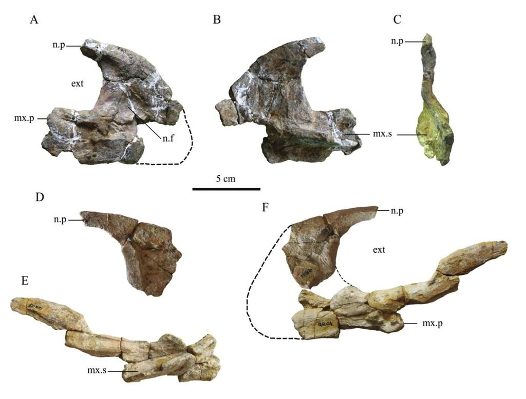 Figure 4.1. Right premaxilla MC-CY.QR.3 in lateral (A), medial (B) and caudal (C) views. A fragment of left premaxilla MC-QR.2 (D), MC-QR 1, 3, 4 and 6 (E) in medial view.