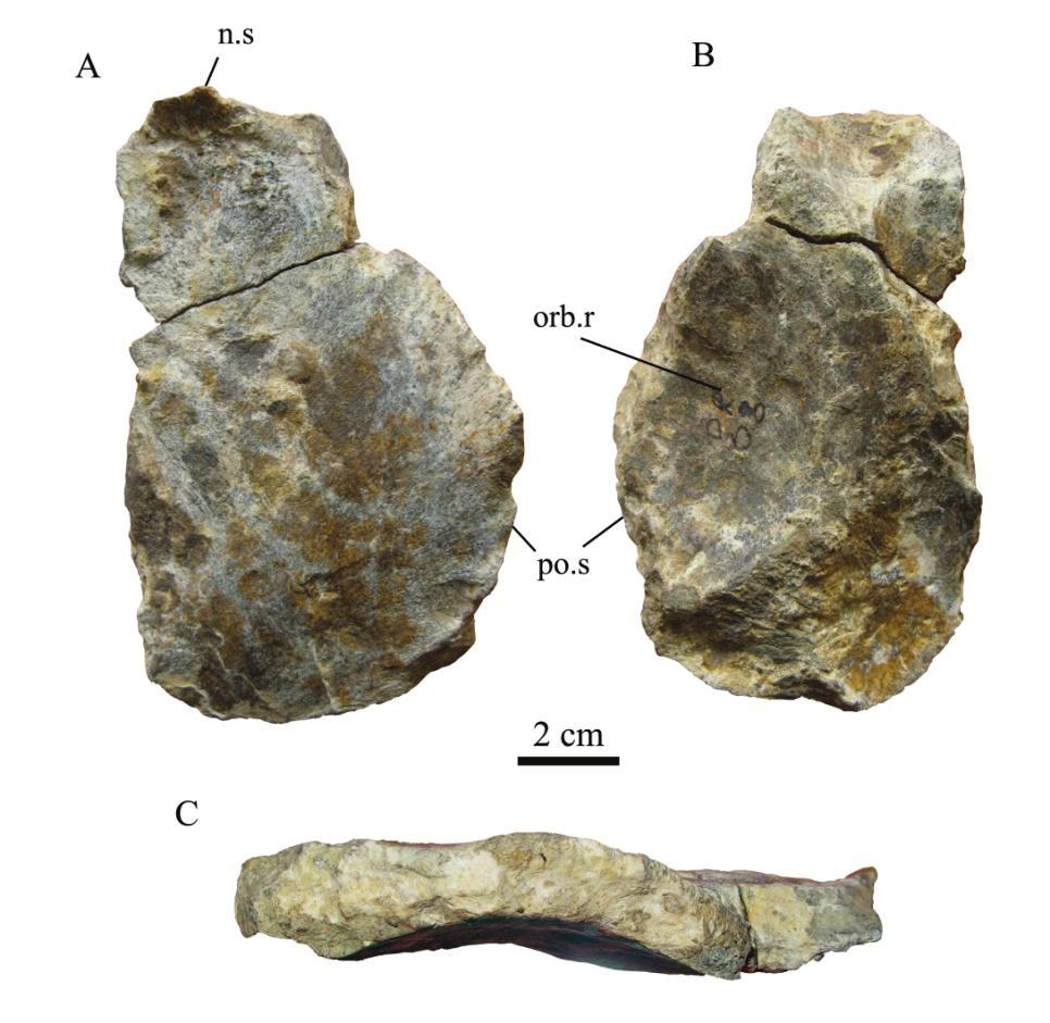 IV. Frontal (MC-QR 8) Only the right frontal MC-QR8 can be identified (Figure 4.4). The posterior end is not completely preserved, however the frontal is longer than wide.