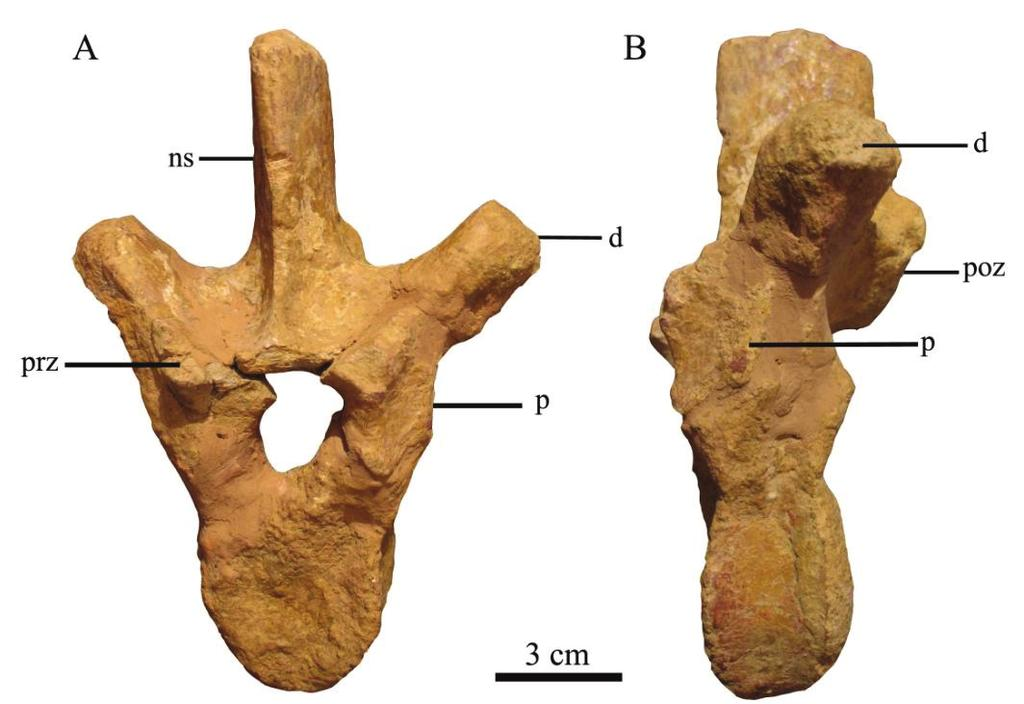 posterior dorsal vertebrae. The articular surfaces are slightly concave and they face dorsomedially. The prezygapophyses are more prominent in more posterior dorsals.