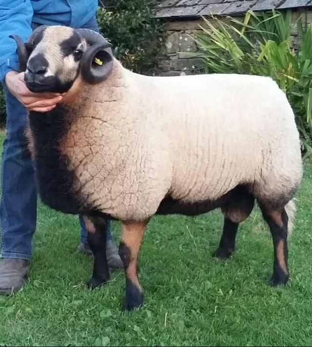 BADGERFACE TORDDU GV JONES, PENCAE, FELINGWM 92 Three Year Old Registered A big strong Torddu ewe which has produced quality ewe lambs. Sold at the NSA Sale.