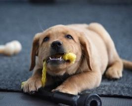 The eight-week old siblings are yellow Labrador/Golden retriever crossbreeds and were acquired from Guide Dogs of America in Sy