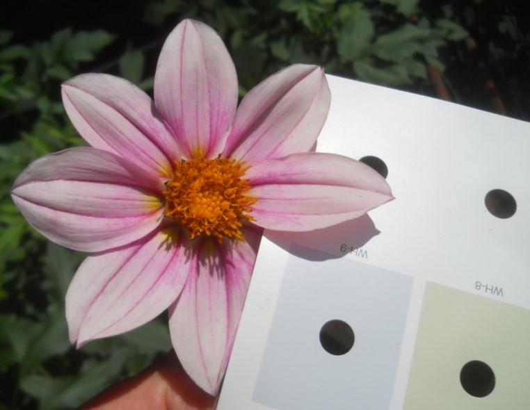 how to assess those merits: the ADS Guide to Judging Dahlias (GJD). Pages 9 to 16 cover the basics, but there are lots of additional references to color throughout the manual.