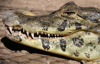 Every time a caiman was seen producing an AC for the first time,