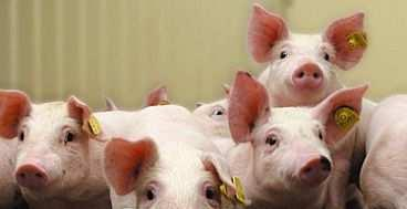Prevalence of LA-MRSA in pigs Epidemiology of antimicrobial resistance Fase I: Development of AR Fase