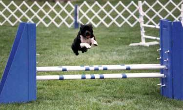 The Staffordshire Bull Terrier Story training at any age. Of course, young pups should not be trained over jumps until the growth plates of their bones have closed.