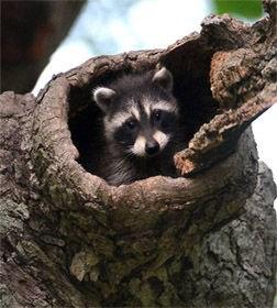 Cases of distemper-infected raccoons surge in city, county Reason unclear why incurable, deadly virus has spread in the area KOKOMO - Animal-control officials say the number of raccoons infected with