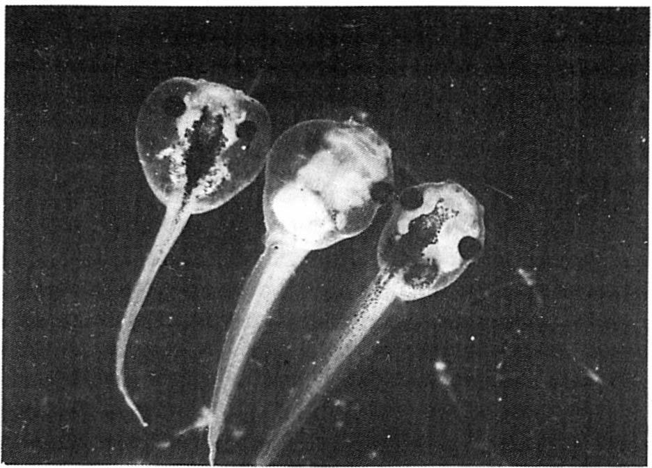 of an experimental embryo (NaCl-treated) through the sucker region.