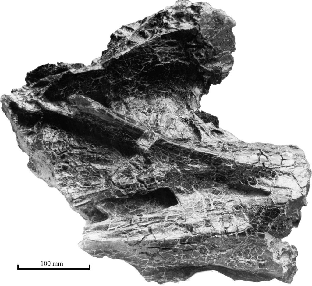 D. Naish et al. / Cretaceous Research 25 (2004) 787 795 791 Fig. 4. Posterior part of MIWG.7306 in left lateral view showing (from top to bottom) fossa 1 and the posterior parts of fossae 2 and 3.