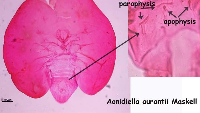 with the lateral prosomatic lobes somewhat enclosing the Pygidium; if not strongly reniform (such as A.