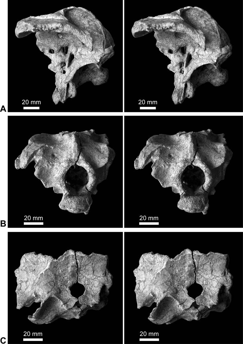 Fossil Record 12 (1) 2009, 23 46 33 (Harris 2006a), braincase MB.R.2388 (dd 130) and Tornieria both have enlarged foramina for cranial nerves III, IV, and V.