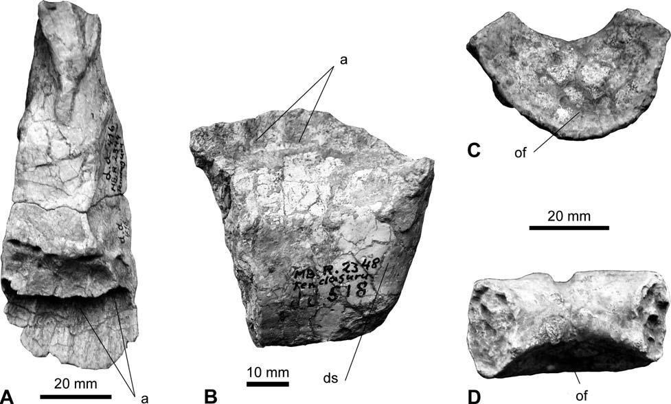Fossil Record 12 (1) 2009, 23 46 35 Figure 8. Skull elements of indeterminate sauropods. A. Left premaxilla MB.R.2344 (dd 416) in caudal view; B. Left dentary MB.R.2348 (dd 518) in medial view; C.