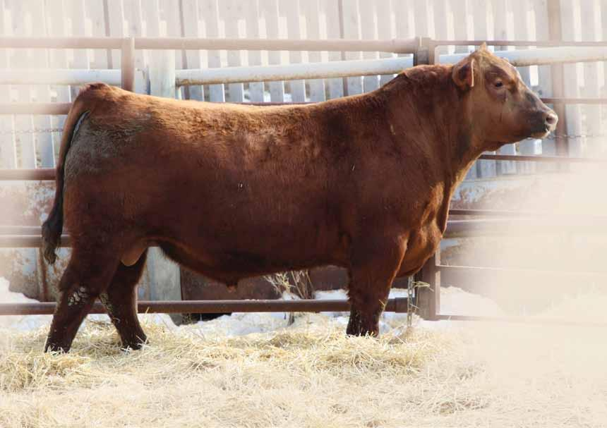 Two Year Old Red Angus BULLS BW: -0.