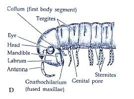 (possible trignathous); gential opening on last body segment (opistogoneate); long filamentous antennae; 3000