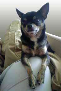 match! Today Cheeno is the much loved member of a family that loves and values him for the funny little dog he is.