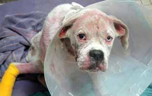 She arrived in Milton, late at night, to find a very thin white Boxer with a badly injured leg and very little fur on his body. Officer Leeson rushed the shivering white Boxer to the emergency clinic.