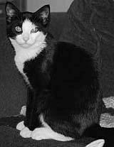 old female with a shiny black and white coat who loves people and gets along well with cats.