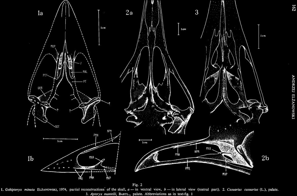 Gobipteryx minuta E LZANOWSKI, 1974, partial reconstructions' of the