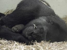 Fights and Bites Treat every wound and injury Cardiac Disease in Gorillas Diagnoses Ejection fraction (EF) Left ventricular