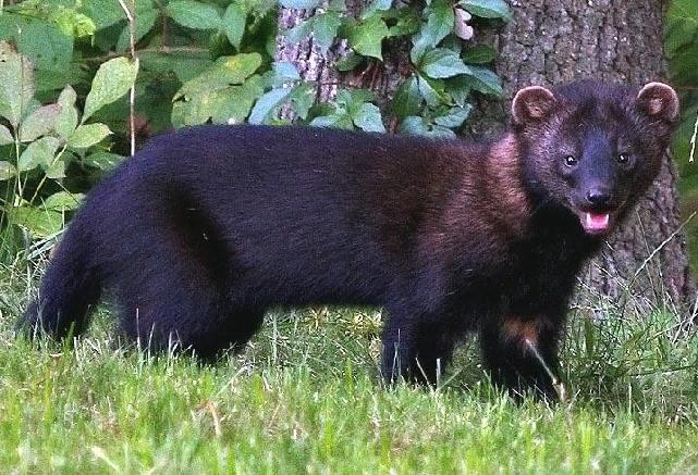 Fisher Martes pennanti Other common names Fisher cat, pole cat Introduction Fishers are one of only a few predators known to successfully feed on porcupines on a regular basis.