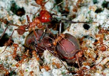 mage courtesy of Brad iero ants have a garid you know that there is a kind of ant that den where they builds an amazing city of its own? t grow their own is called the leaf cutter ant. hen a food.