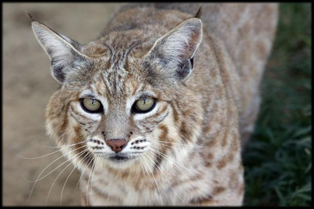 S pots & S t ripes S u mmer 2017 P a ge 5 Cat of the Quarter: Willow the Bobcat When EFBC visitors venture up into the area of the facility we call The L, they re usually greeted on one side of the