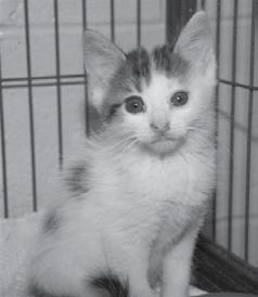 Devon was the cute little female kitten who had a brown/black tabby coat with white highlights. She and her brother, Darin, shared a cage for a few days and loved romping and playing with each other.