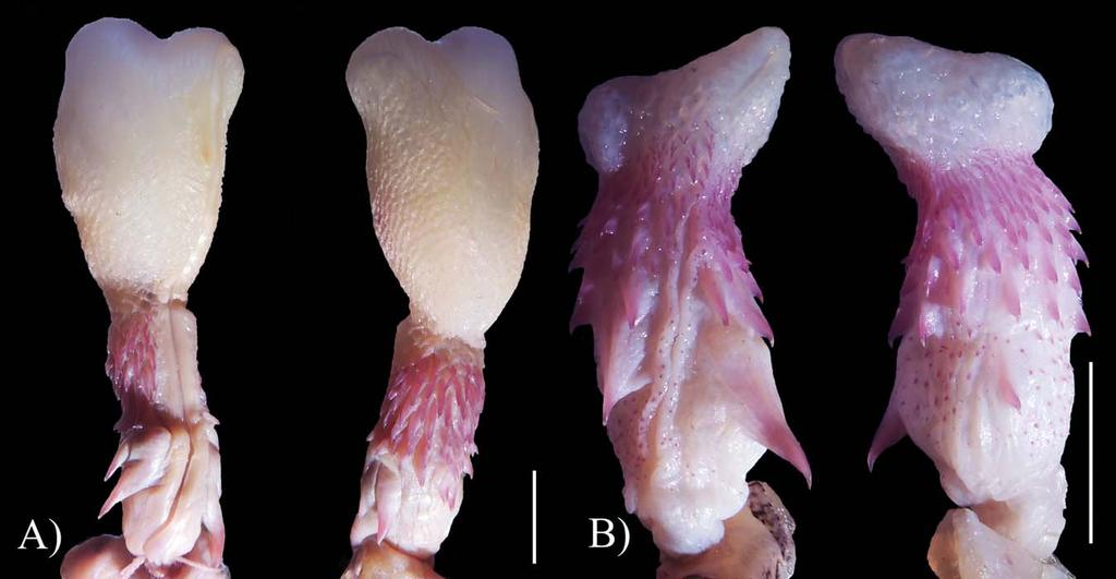Differences are found in the apical part of the hemipenes and no hook is visible on the base of the N. tessellata hemipenis. The hemipenis of N. tessellata (Fig.