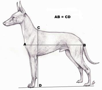 in fact gives the head more elegance and distinction. The square construction does not need comments, the cirneco must be a squared dog. (Fig.5). Fig.5 Fig.6 Fig.