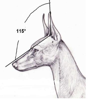Many Cirneco show a horizontal fold on the ear around half of its length. Such peculiarity is of genetic inheritance and it also depends on the consistency of the cartilage.