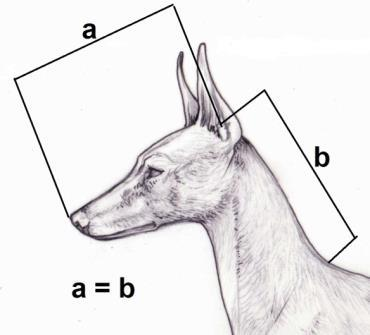 From their profile perspective, they must form an obtuse angle of 115 in line with skull profile. (Fig. 24).