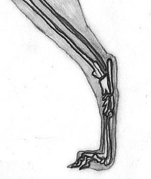The hock has a close angle and seen from the back, it is set on the vertical line from the tip of the buttock to the ground. Metatarsus must lack of spurs and it has not to be excessively long (Fig.