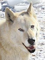 Anne Dresselhaus- Hear elt thank you, Anne, for helping us rescue the late Cassie, and our Iowa 10 wolf-dogs!