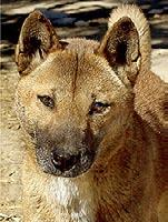 The pure dingo has always been a wild canine, which developed as the wolf of Australia. Fossil records show that dingoes have lived in Australia for at least 5000 years.