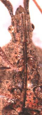 Heteroptera: Alydidae; Front wings with thickened anterior
