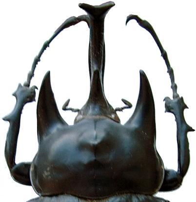13 (12). Anterior angles of pronotum produced into acute, anteriorly projecting horns (Fig. 13). Color dull or shiny black. Scutellum on disc rugose.