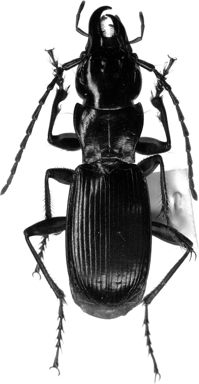 120 Fig. 1. Pterostichus gujoensis TODA, sp. nov., from Sakamoto-tôge,.