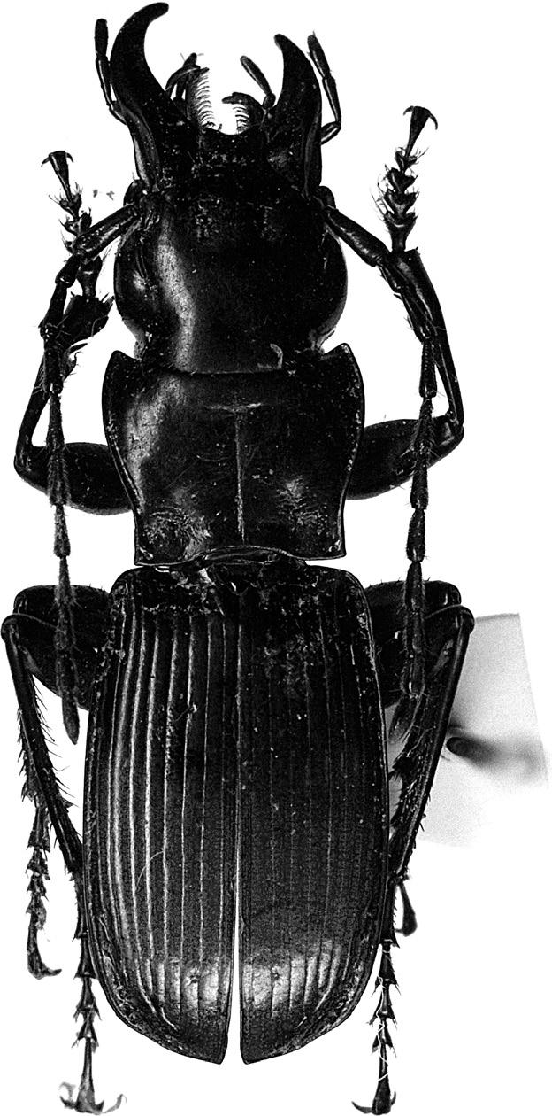 122 apical part, and 3) aedeagal ventral side with a rather large ridge at about middle. Pterostichus shikatai TODA, sp. nov. [Japanese name: Shirahone-ôzu-naga-gomimushi] (Figs. 8 14) Diagnosis.